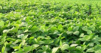 Metade da soja mundial será produzida na América do Sul